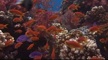 Anthias School Above Coral Reef