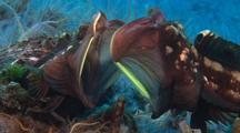 Sarcastic Fringeheads Fighting