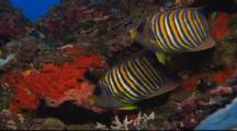 Regal Angelfish Over Coral Reef