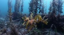 Leafy Sea Dragon Over Sea Grass In South Australia
