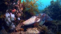 Giant Cuttlefish Eggs, Spawning, Mating Behavior In South Australia
