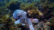 Giant Cuttlefish Mating And Spawning In South Australia