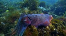Giant Cuttlefish Mating And Spawning Behavior In South Australia