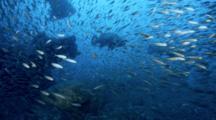 Goliath Grouper Beneath Bow Surrounded By Baitfish