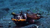 Flamboyant Cuttlefish (Metasepia Pfefferi) Walking