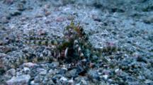 Mating Wonderpus Octopus, Wonderpus Photogenicus