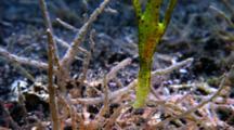 Robust Ghostpipefish, Solenostomus Cyanopterus