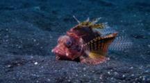 Shortfin Lion Fish, Dendrochirus Brachypterus