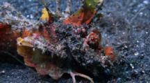 Devil Scorpion Fish, Inimicus Didactylus