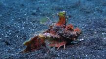 Devil Scorpion Fish, Inimicus Didactylus