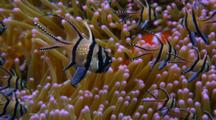 Banggai Cardinal Fish, Pterapogon Kaudemi Over Clown Anemone