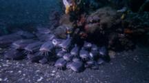 Large Striped Catfish, Plotosus Lineatus, Under Rock