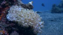 Flower Coral (Anthelia) Filter Feeding