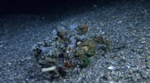 Decorator Crab, Camposcia Retusa, Walks At Night