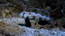 Crab Eye Goby, Signigobius Biocellatus