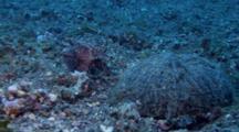 Flamboyant Cuttlefish Lays Eggs Under Coconut Shell