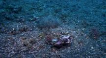 Flamboyant Cuttlefish Near Coconut Shell
