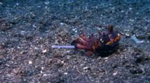 Flamboyant Cuttlefish Feeding On Shrimp