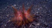 Fire Urchins