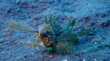 Ambon Scorpionfish, Pteroidichthys Amboinensis