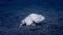 Humpback Scorpionfish, Scorpaenopsis Diabolus - White
