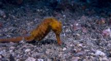 Seahorse Feeds On Shrimp Sequence