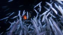 Opalescent Squid Surround Jerry Allen At Night