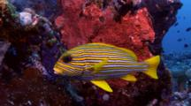 Ribbon Sweetlips (Plectorhinchus Polytaenia) Next To Reef