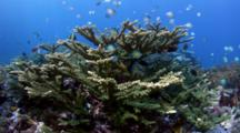 Large Tree Of Acropora Coral