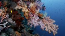 Spectacular Outcrop Of Soft Corals