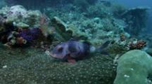Goatfish Rests On Coral