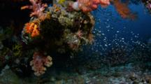 Sweepers And Soft Coral At Base Of Bommie
