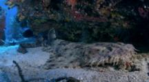 Wobbegong Shark (Orectolobus Maculatus) On Sand