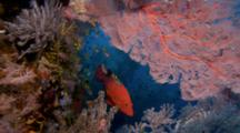 Beautiful Reefscape With Coral Grouper Under Red Sea Fan