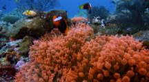 Various Anemonefish Over Bright Orange Anemones