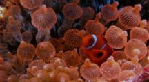 Spinecheek Anemonefish (Premnas Biaculeatus) Over Bright Orange Anemones