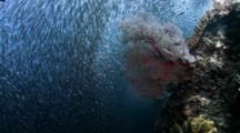 Lock Down Shot Of School Of Sardines Undulate Over Reef
