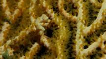 Pygmy Seahorse (Hippocampus Denise)