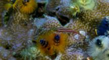 Goby Among Spiral Gill Worms On Coral