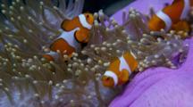 Purple Anemone Wirh False Clown Anemonefish (Amphiprion Ocellaris)