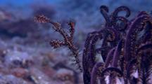 Ghost Pipefish (Solenostomus Paradoxus) Near Crinoid