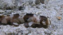 Brown-Banded Bamboo Shark Juvenile (Chiloscyllium Punctatum)