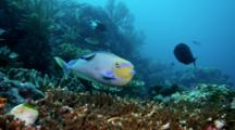 Bignose Unicornfish (Naso Vlamingii) Changes Color When Cleaned