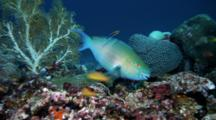 Parrotfish Feeds On Dead Coral
