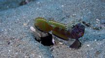 Wide-Barred Shrimpgoby Displays (Amblyeleotris Latfasciata)