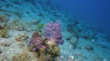 Purple Rhinopias Scorpionfish Next To Purple Soft Coral