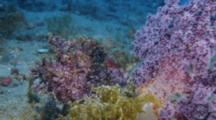 Purple Rhinopias Scorpionfish Next To Purple Soft Coral