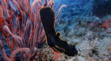 Pinnate Spadefish Juvenile (Platax Pinnatus)