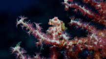 Pygmy Seahorses On Red Gorgonian (Hippocampus Bargibanti)