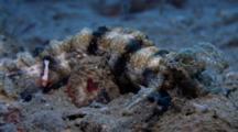 Imperial Shrimp (Periclimenes Imperator) On Sea Cucumber
